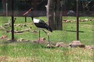 saddlebill-stork
